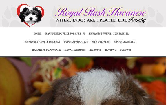 Royal Flush Havanese
